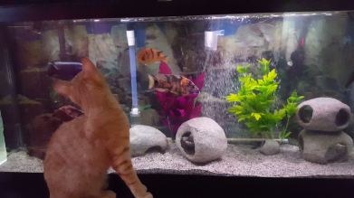 Our Cichlids and Plecos entertain the cats
