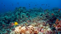 Hawaiian Reef Scene in Kona